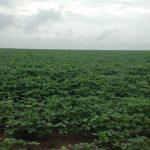 Plantio de Soja14